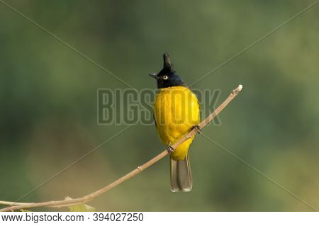 Black-crested Bulbul (pycnonotus Flaviventris), On A Perch, In The Forests Of Ramnagar In Uttarakhan