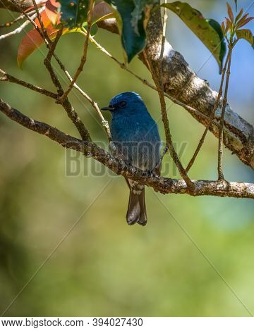 A Lovely Male Nilgiri Flycatcher (eumyias Albicaudatus), On A Perched And On A Branch In The Wild, I