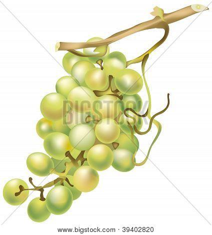 vector grapes
