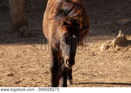 Portrait Of Young Scotland Pony. Beautiful Animal.
