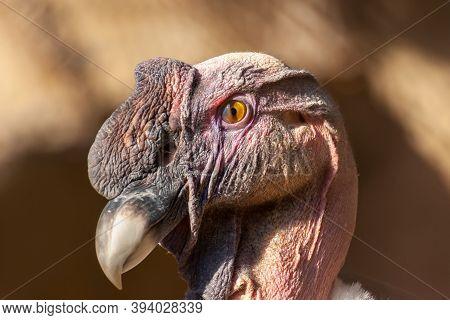 Male Andean Condor Portrait, Vultur Gryphus, Evening Light.