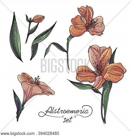 Alstromeria Pastel Orange Branch Set Isolated On White