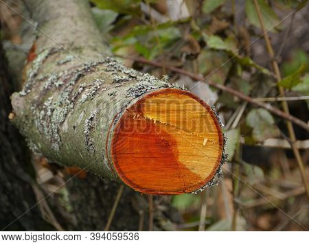 Cut Alder Tree With Red Annual Ring Close-up