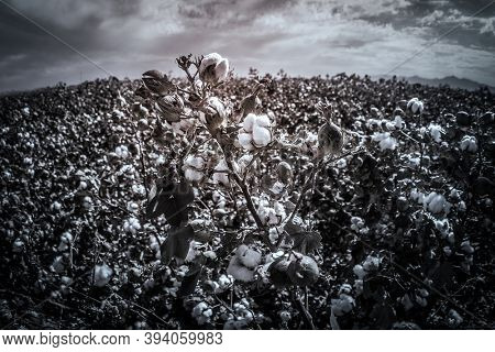 Fish eye lens view of cotton crop landscape, ripe cotton bolls on branch