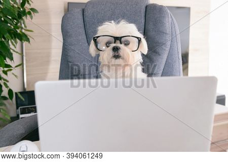 Little white intelligent dog works with a computer. His glasses give him the same dignity as the president of the company.