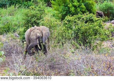 Huge African elephant grazes in the savannah among acacias. Sunset. South Africa. The Kruger Park. Animals live and move freely in the savannah. The concept of exotic and photo tourism