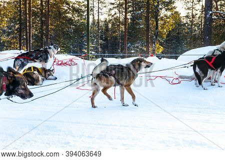 Short winter day in the Lapland. Exotic trip to the Arctic. Dog sled carries a sled with tourists. The toboggan run is rolled in deep snow. The sun is low on the horizon. Travel to Santa Claus