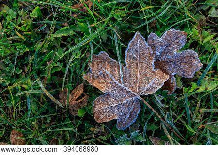 Frosty Autumn Morning. Frosty Fallen Maple Leaf On Green Grass.