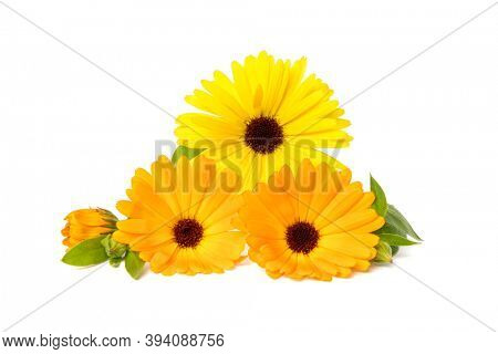 Pot Marigold or Calendula officinalis flowers, buds and leaves isolated on white background