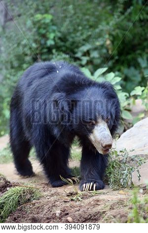 The Sloth Bear (melursus Ursinus), Also Known As The Labiated Bear On The Trail.