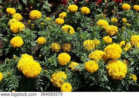 Florescence Of Yellow Tagetes Erecta In Mid June