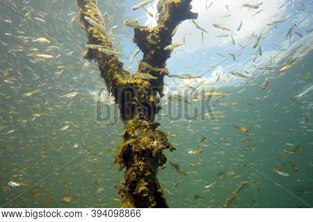 Perch (perca Fluviatilis) Commonly Known As The European Perch, Screed Underwater Shoal. Huge Shoal