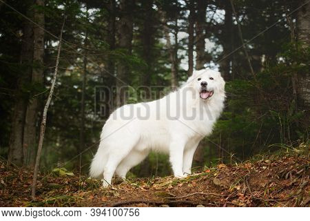 Portrait Of Big And Beautiful White Maremma Dog Standing In The Autumn Forest