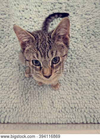 Cute Kitten Sitting On A Bathroom Rug And Looking With Curiosity. Small Brown Cat.