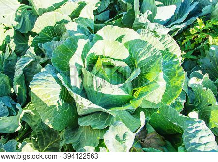 Large Cabbage In The Garden. Selective Focus