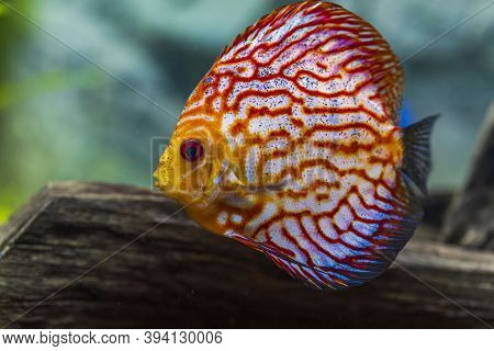 Close Up View Of Gorgeous Checkerboard Red Map Discus Aquarium Fish Isolated On Background. Hobby Co