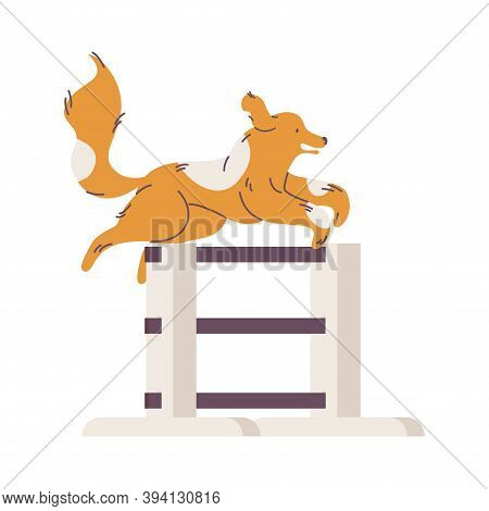 Dog With Long Fur Jumping Over Jump Hurdle Isolated On White Background.
