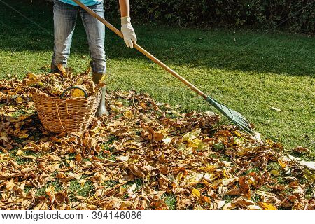 Person Raking Fallen Leaves In The Garden.girl Holding A Rake And Cleaning Lawn From Leaves During A