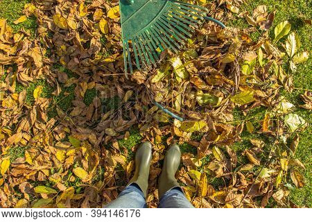 Rake With Fallen Leaves In Autumn. Gardening During Fall Season. Cleaning Lawn From Leaves. Gardener