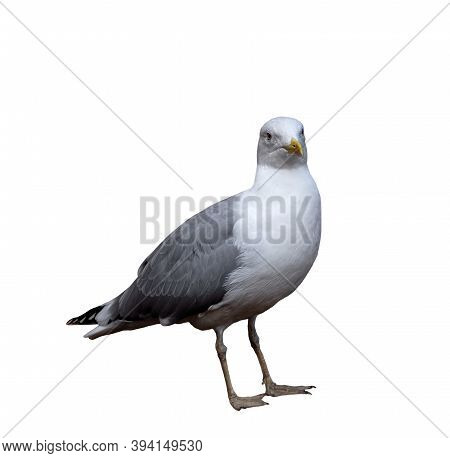 Seagull With White Head, Yellow Beak And Gray Wings, Isolated On White Background. The Seabird Looks