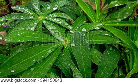 Water Drops After Rain On The Leaves Of Lupine (also Known As Lupinus Polyphyllus Or Garden Lupine)