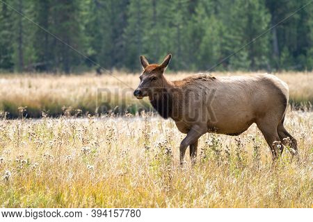 Female Elk (cow) Prances Around In A Grassy Meadow In Yellowstone National Park In Autumn