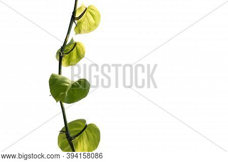 Tropical Spotted Betel Leaves With Sunlight On White Isolated Background And Copy Space