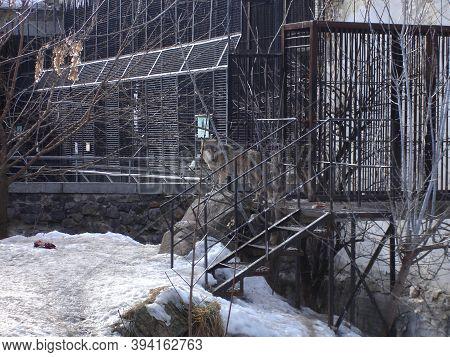 Gray Wolf On A Winter Day. Wild Animal
