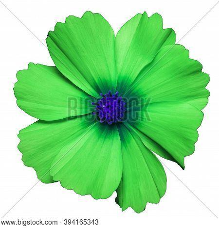 Green Flower Of Cosmea Bipinnatus, Cosmos Bipinnatus, Isolated On A White Background