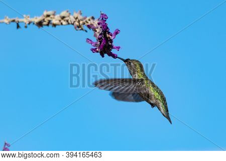 Rufus Hummingbird Facing Left Flutters Wings Rapidly To Hover At The Lupine Wildflower With Beak Ins
