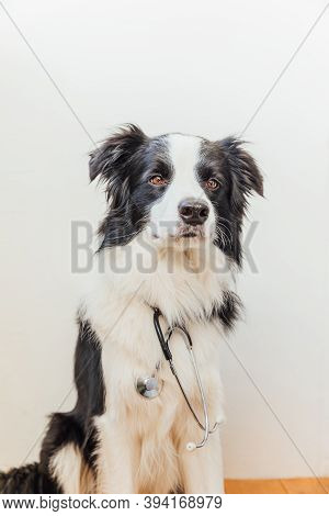 Puppy Dog Border Collie With Stethoscope On White Wall Background Indoor. Little Dog On Reception At