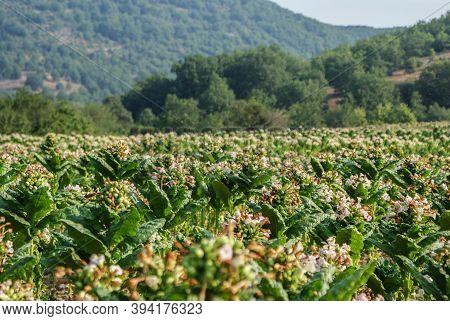 Healthy Tobacco Plants On A Farm Field. Blossoming Tobacco Plants In Field. Tobacco Big Leaf Crops G