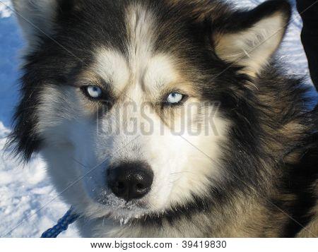 husky dog in lapland