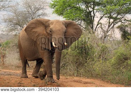 The African Bush Elephant (loxodonta Africana), Young Bull Behaves Threateningly.young Male Elephant