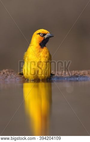 The Spectacled Weaver (ploceus Ocularis) In The Small Pond. A Distinctly Yellow Weaver With A Black