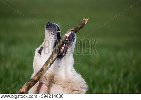 Golden Retriver Playing With A Stick In The Meadow