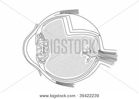 Human Eye Structure