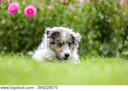 Beautiful Small Shetland Sheepdog Sheltie Puppy With Flowers On The Background. Photo Taken On A War