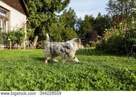 Small, Young Shetland Sheepdog Blue Merle Sheltie Puppy In Countryside Garden. Photo Taken On A Warm