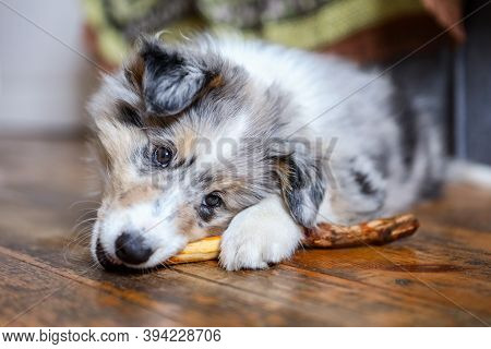 Shetland Sheepdog Puppy Chewing Wood Stick. Photo Taken Indoors In Living Room.