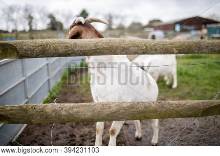 White And Brown Goat Prancing Joyfully Behind A Fence In A Farmyard