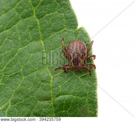 Tick insect on green leaf. Encephalitis or lyme disease infected. Macro mite sitting on a plant isolated on white.