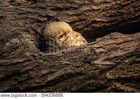 Spotted Owlet Or Athene Brama Perched On A Textured Dead Tree Trunk In His Nest At Keoladeo Ghana Na