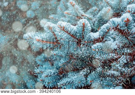 Christmas winter snowy background. Blue Christmas winter pine tree branches under falling snow, Christmas card, winter forest nature with space for Christmas text