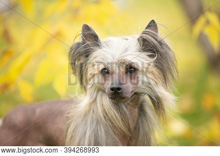 Portrait Of Beautiful Chinese Crested Dog In Autumn Forest.
