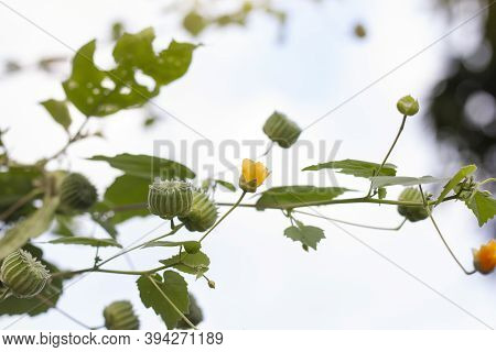 Yellow Flower And Fruits Of Indian Mallow, Chinese Bell Flower Or Country Mallow (abutilon Indicum)