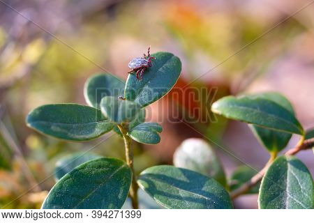 Close Up Of American Dog Tick Crawling On Cranberry Leaf In Nature. These Arachnids A Most Active In