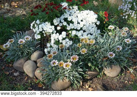 Flowers Of Red And White Chrysanthemums And Striped Gazanias In Mid October