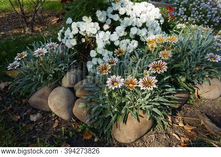 White Chrysanthemums And Striped Pink Gazanias In Mid October
