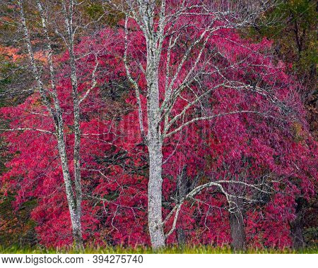 Autumnal Photo Featuring A Tree With Bright Red Leaves Fronted By Stark White Branches From Two Barr